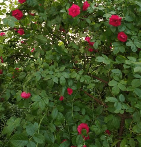 Розы Кордеса. Фламентанц и не только.