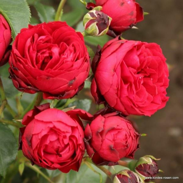 Розы - помпоны
