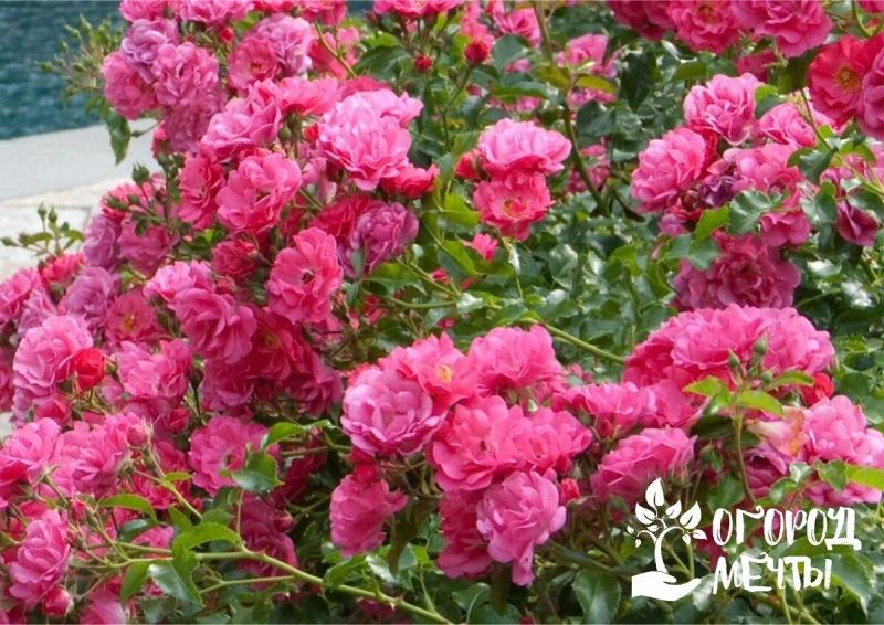 Самые морозостойкие сорта роз