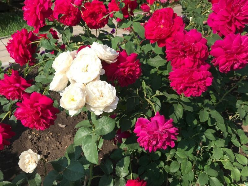 Сорвалась покупка роз на весну 2021 года!