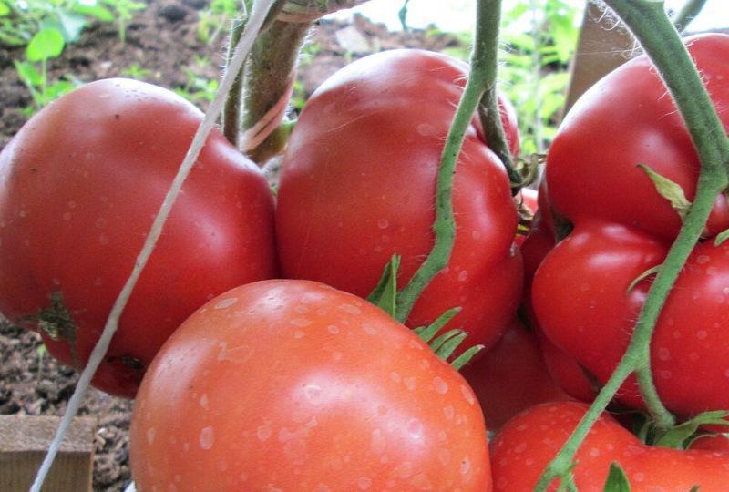 Топ-5 крупноплодных, сладких, урожайных сортов томатов