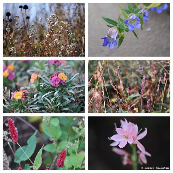 В саду цветут хризантемы и астры, начал обрезать розы