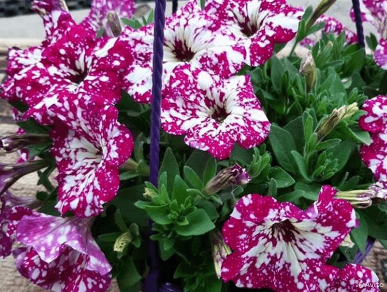 Вегетативные петунии и другие цветы - что это?