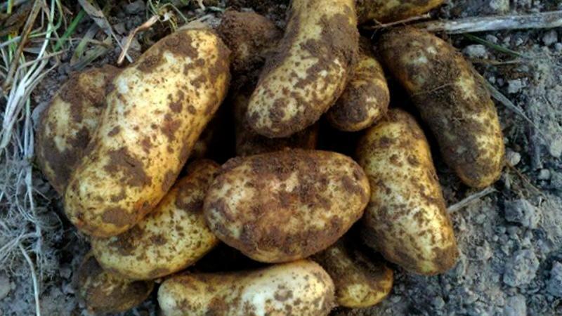 Ах, картошечка. 12 надежных, урожайных сортов.