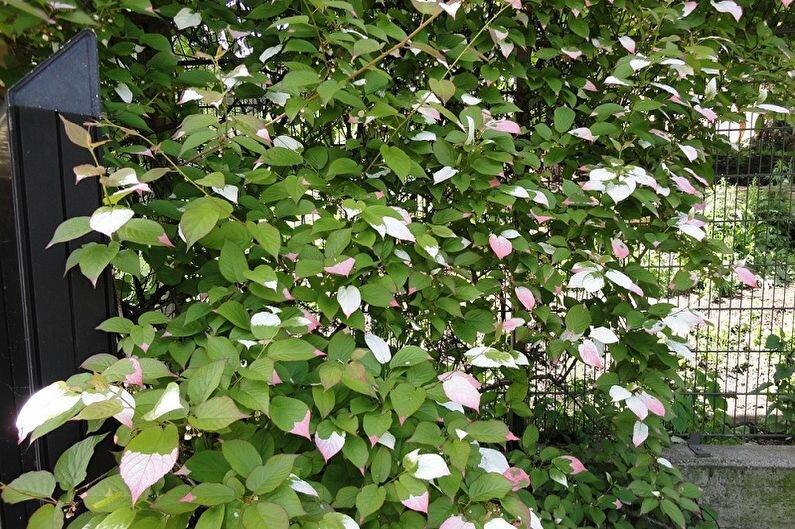 Актинидия - экзотическая лиана на участке