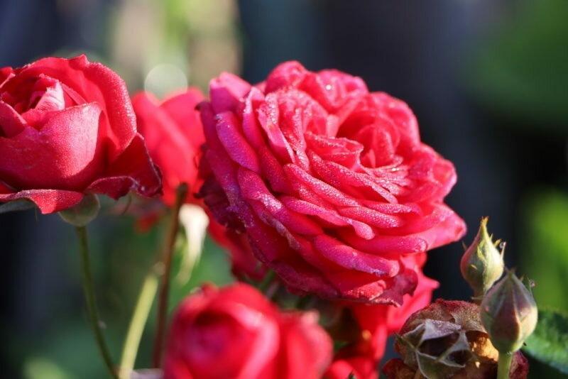 Десять лучших питомников роз в современном мире