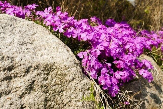 Лучшие почвопокровные растения для альпийской горки