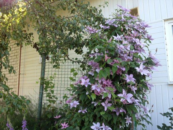 Маленький секрет цветения клематисов, пригодится уже скоро