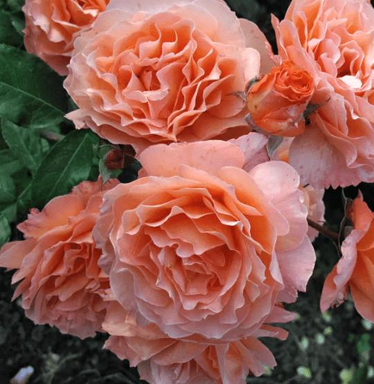 Розы Tantau. Чипендейл.