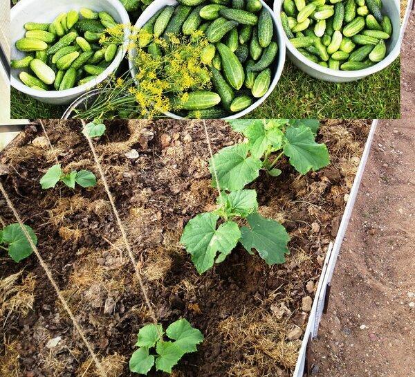 Сколько нужно сажать огурцов. Три этапа огородной жадности
