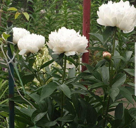 Травянистые пионы - цветок императоров в саду