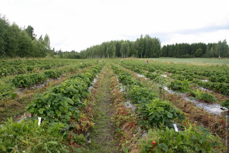 10 принципов выращивания земляники по-фински