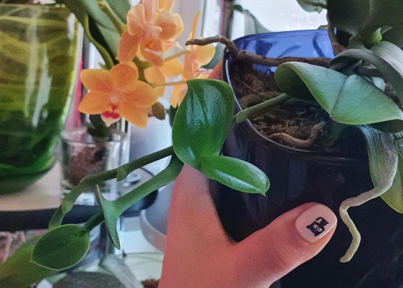 Что будет с орхидеей, если не отсадить детку
