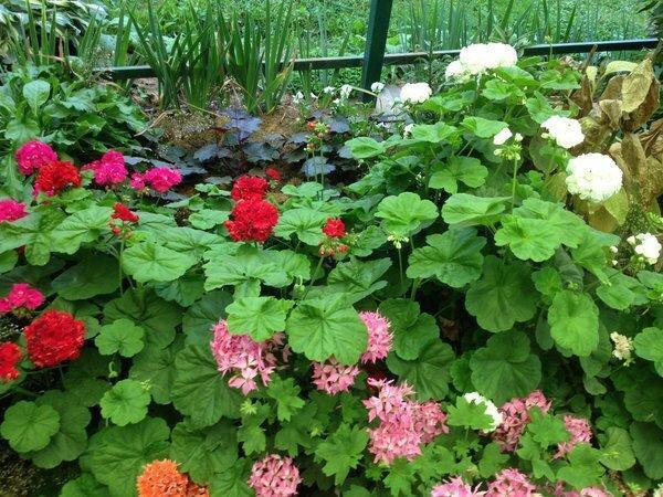 Как красиво растет простая герань в саду