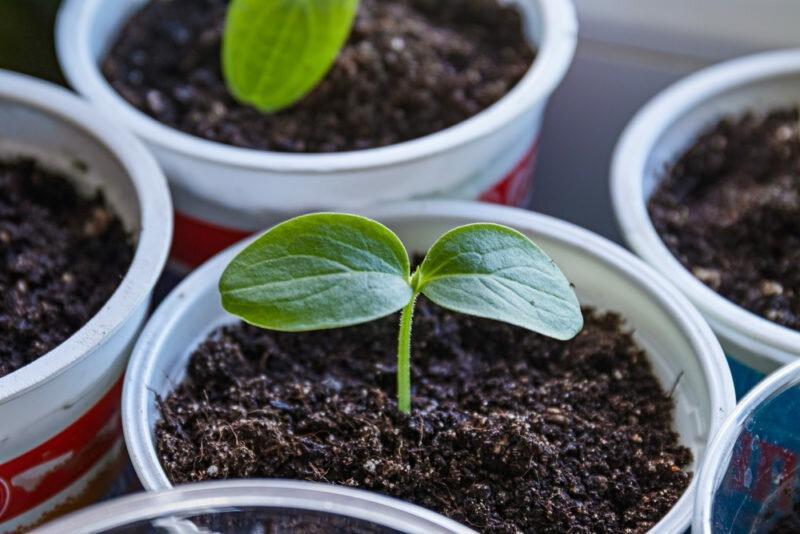 Как посеять огурцы в пластиковые стаканы
