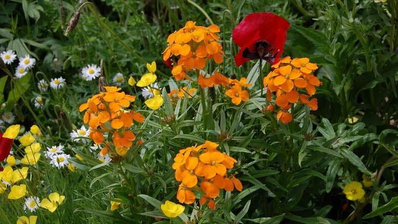 Как вырастить в саду элегантный лакфиоль