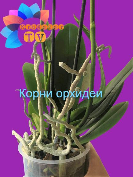 Корни Орхидеи — о чём они говорят, и что с ними делать