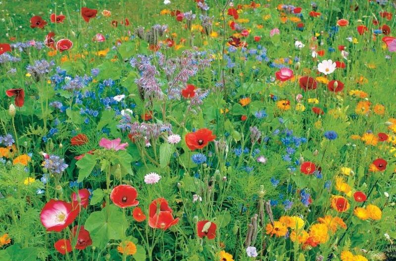 Лучшие разновидности однолетних растений-самосеек