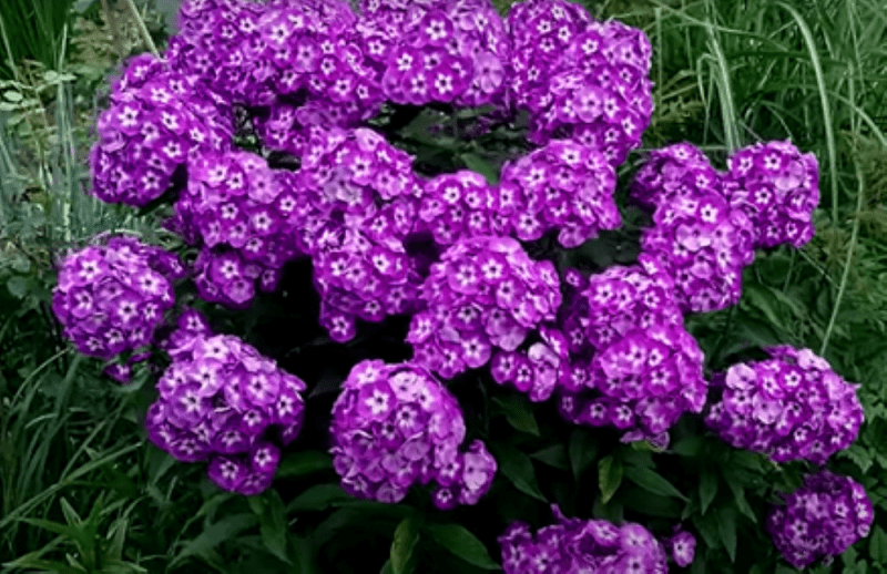 Многолетники, которые зацветут уже в год посева