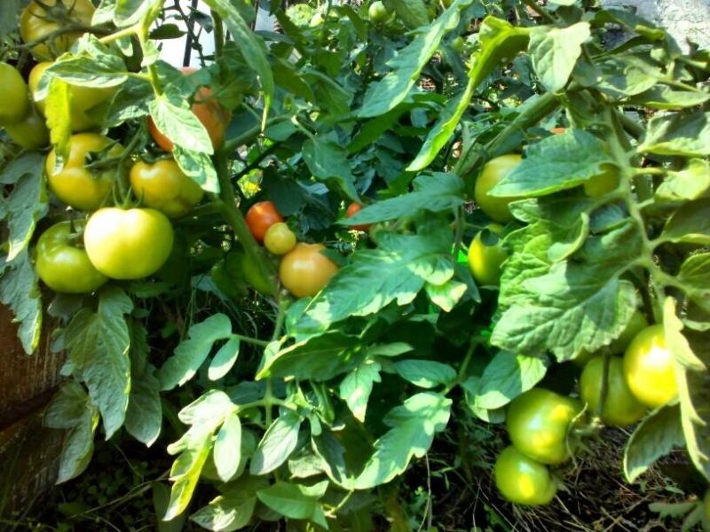 Низкорослые томаты для открытого грунта: 9 сортов, сама вырастила