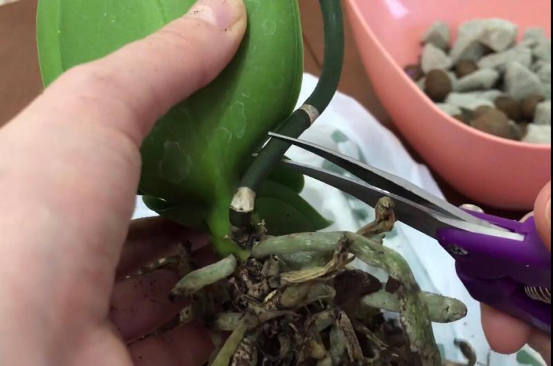 Орхидея отцвела. Что делать дальше?