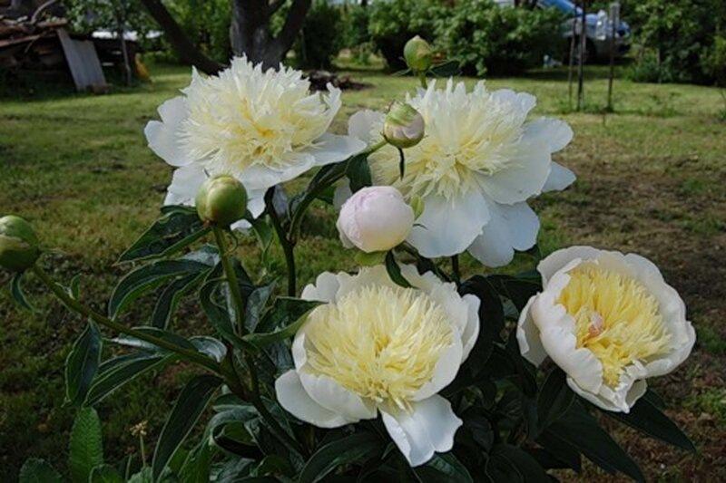 """Пион """"Примавера"""": великолепное цветение без проблем"""