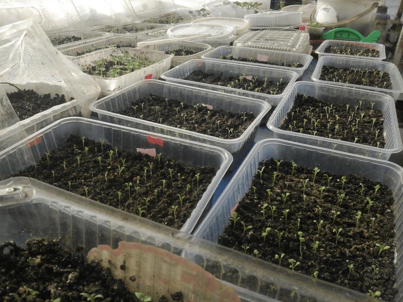 Пора сеять кустовую петунию (для цветения с начала мая)