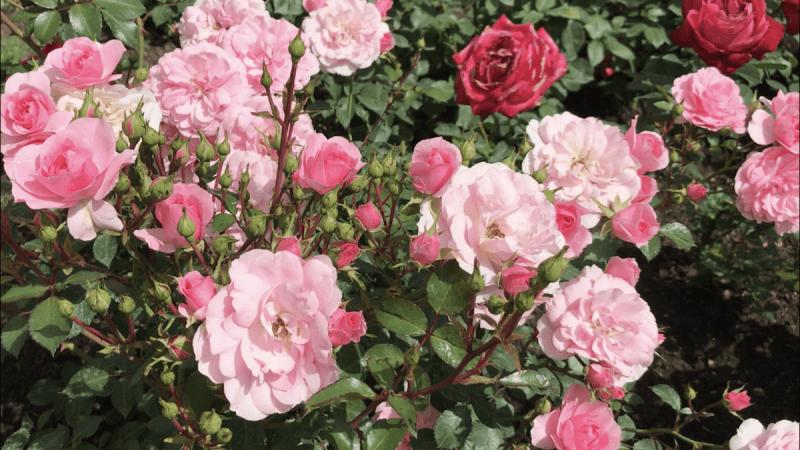 Сравнение роз Боника-82 и Роял Боника.