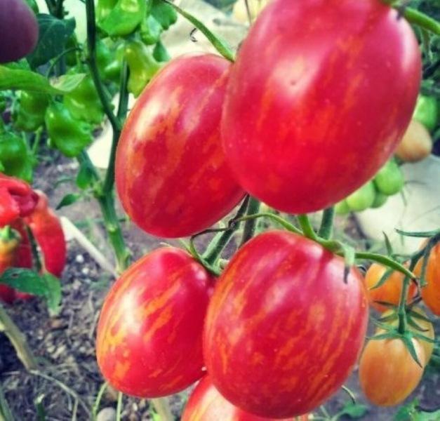 Стелющиеся томаты: особенности, сорта