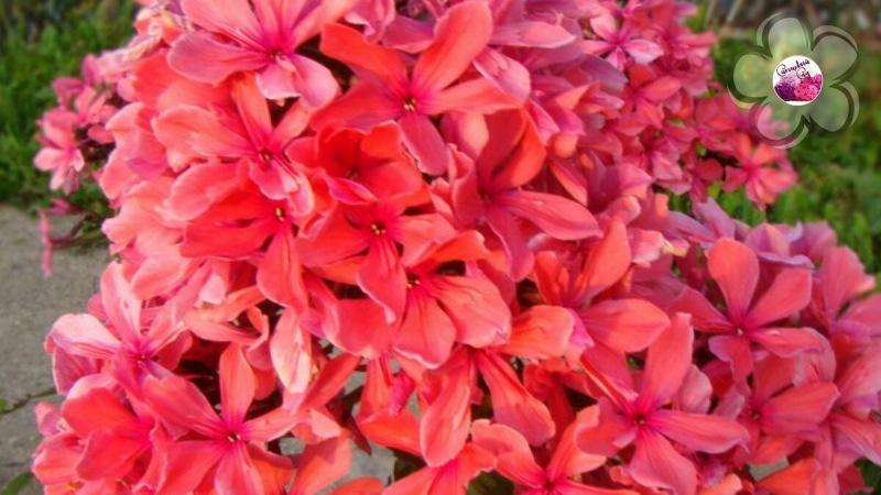 🌈 Яркие краски лета: бывают ли оранжевые флоксы