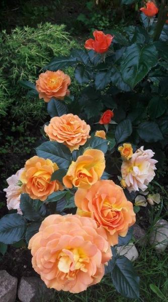 102 РОЗЫ в саду 🌹. Голдэльзе. Флорибунда. Оранжевое настроение.