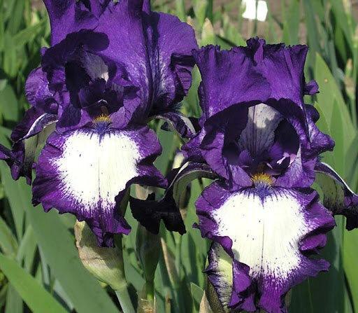 Бородатые ирисы - северная орхидея в цветнике