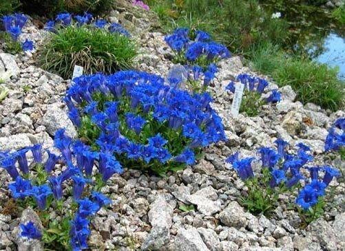 Горечавка: синие колокольчики среди камней