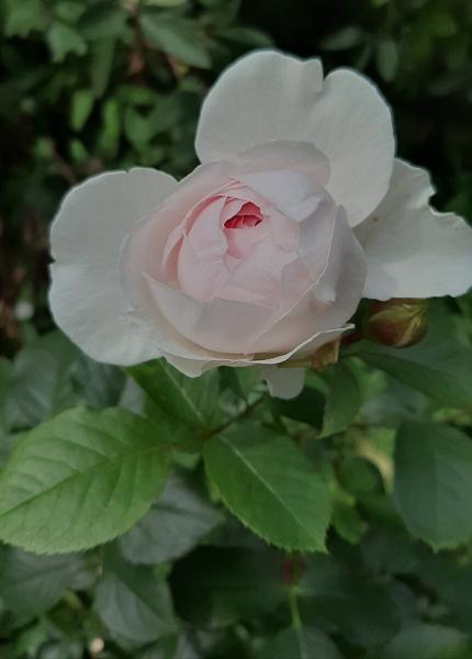 Готовим новый розарий и сажаем розы.