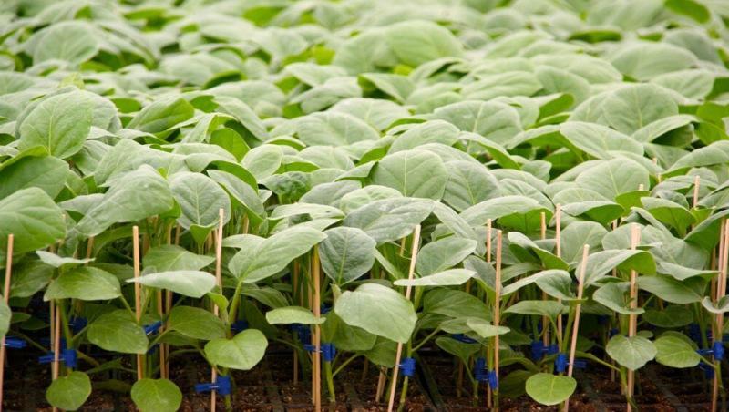 Инструкция по выращиванию баклажанов в открытом грунте