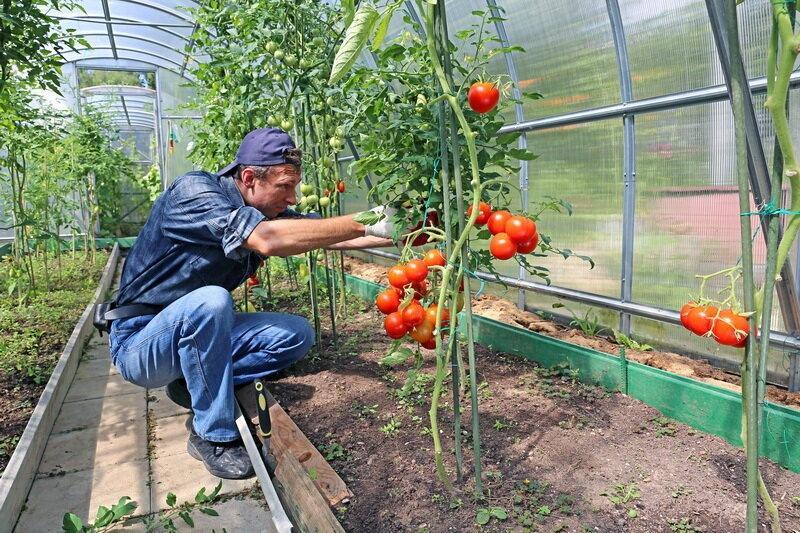 Как подвязывать томаты в открытом грунте и теплице