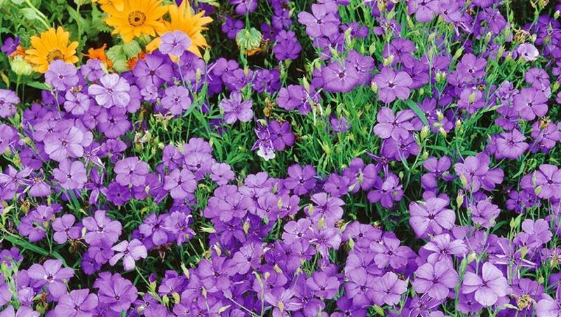 Какие цветы лучше высадить на передний план цветника