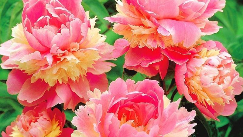 Какие сорта пионов имеют самые крупные и красивые цветы