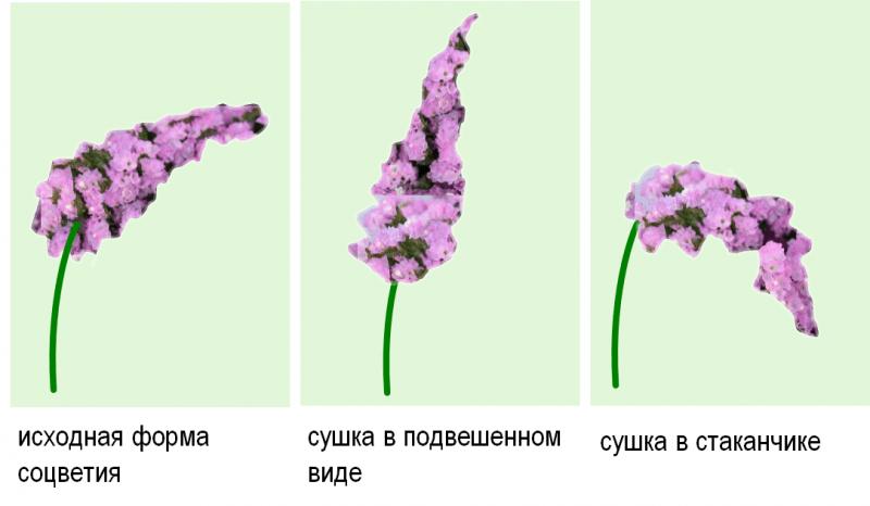 Какие сухоцветы стоит посадить? Часть 1: розовые