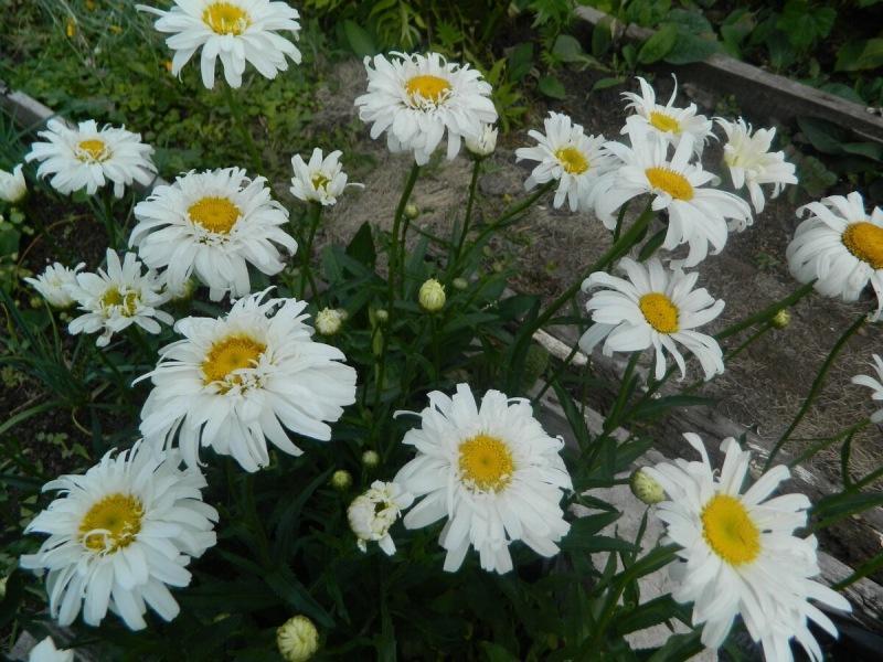 Красивые, неприхотливые и любимые и многолетники в моем саду