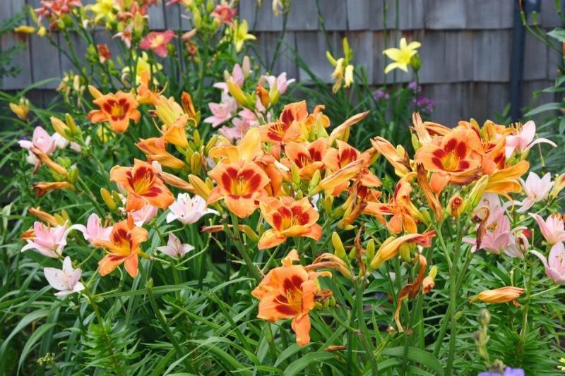 Лилейники: цветы, которые уместны везде