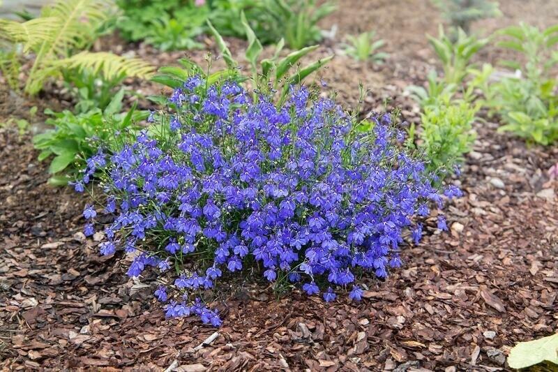 Лобелия - синие коврики в саду