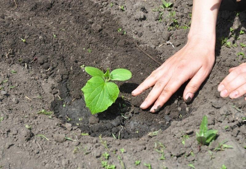 Огурцы не хотят расти: разбираемся подробно