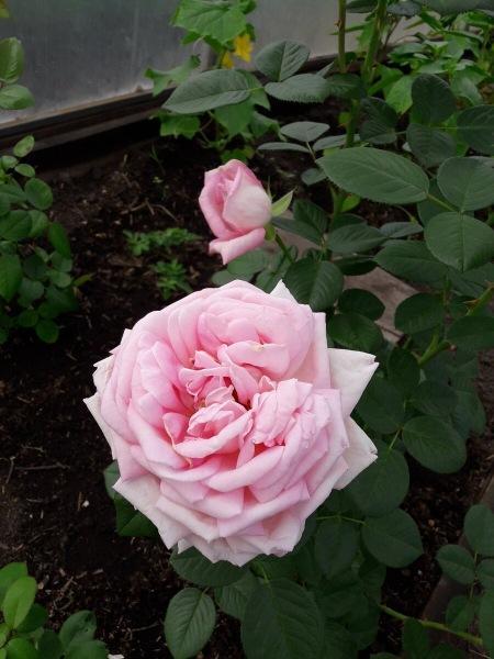 Роза Amazing Grace - божественная красота и совершенство формы