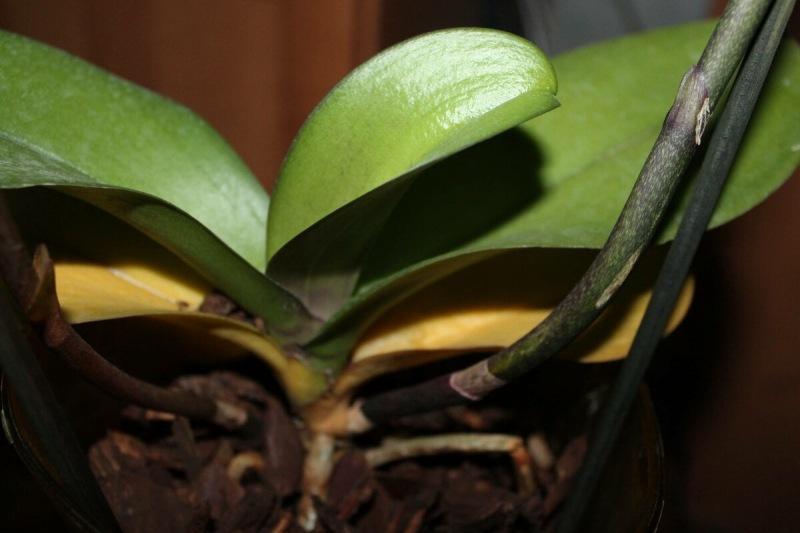 2 причины, почему у Орхидеи желтеют листья, что с этим делать