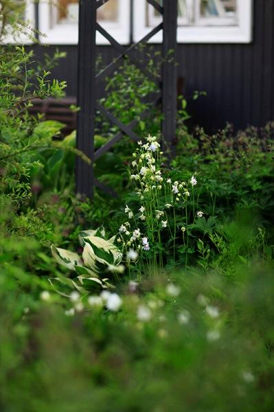Аквилегия, цветок садовых эльфов