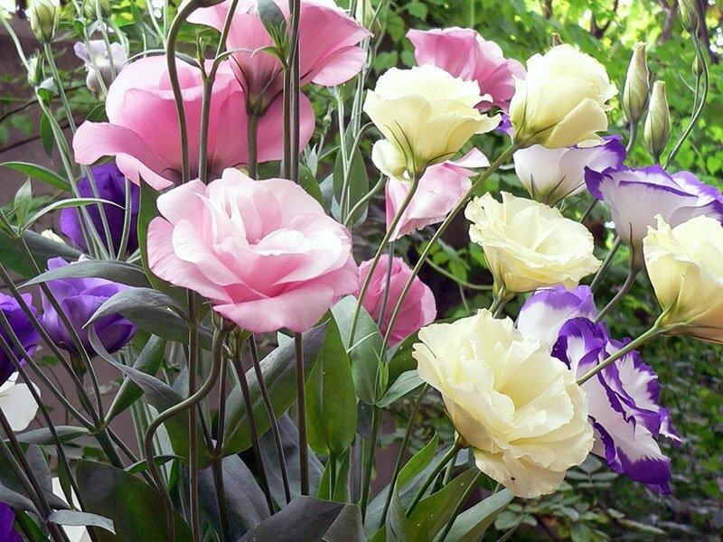 Эустома: нежная ирландская роза под северным небом