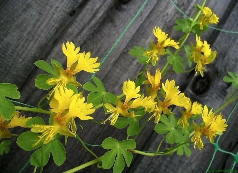 """Иноземная настурция """"Канарейка"""": кудрявые цветы в саду"""