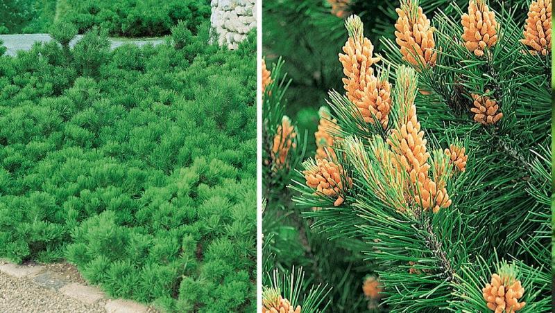 Какие сорта хвойников выбрать для озеленения участка