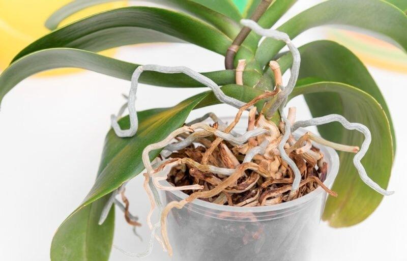 Корни орхидеи сильно разрослись: что делать
